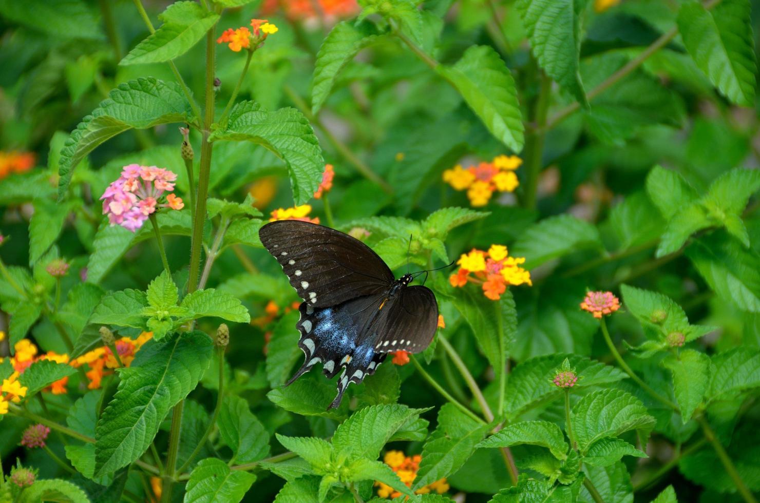 Mariposa cola de golondrina en el jardín foto