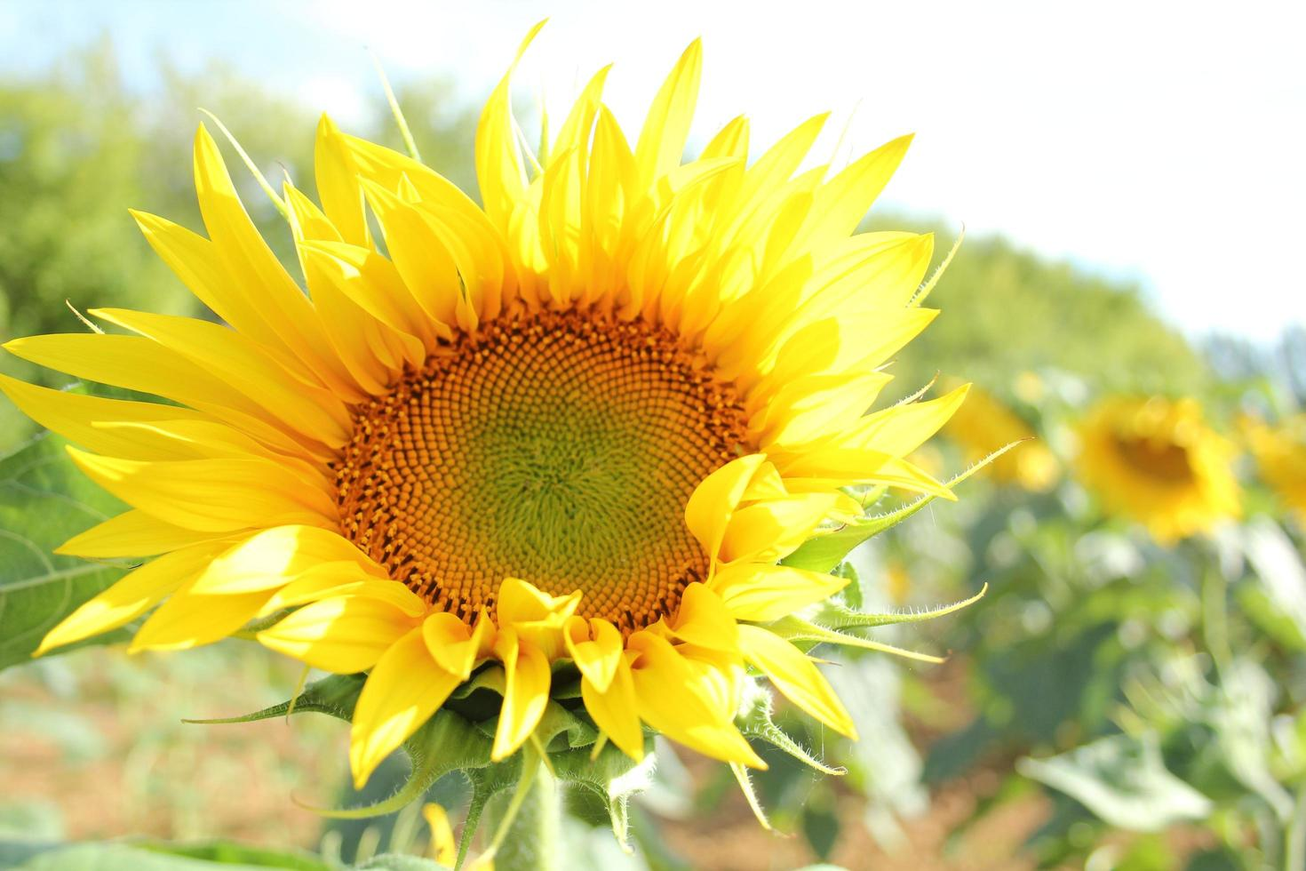 Bright blossomed sunflower photo