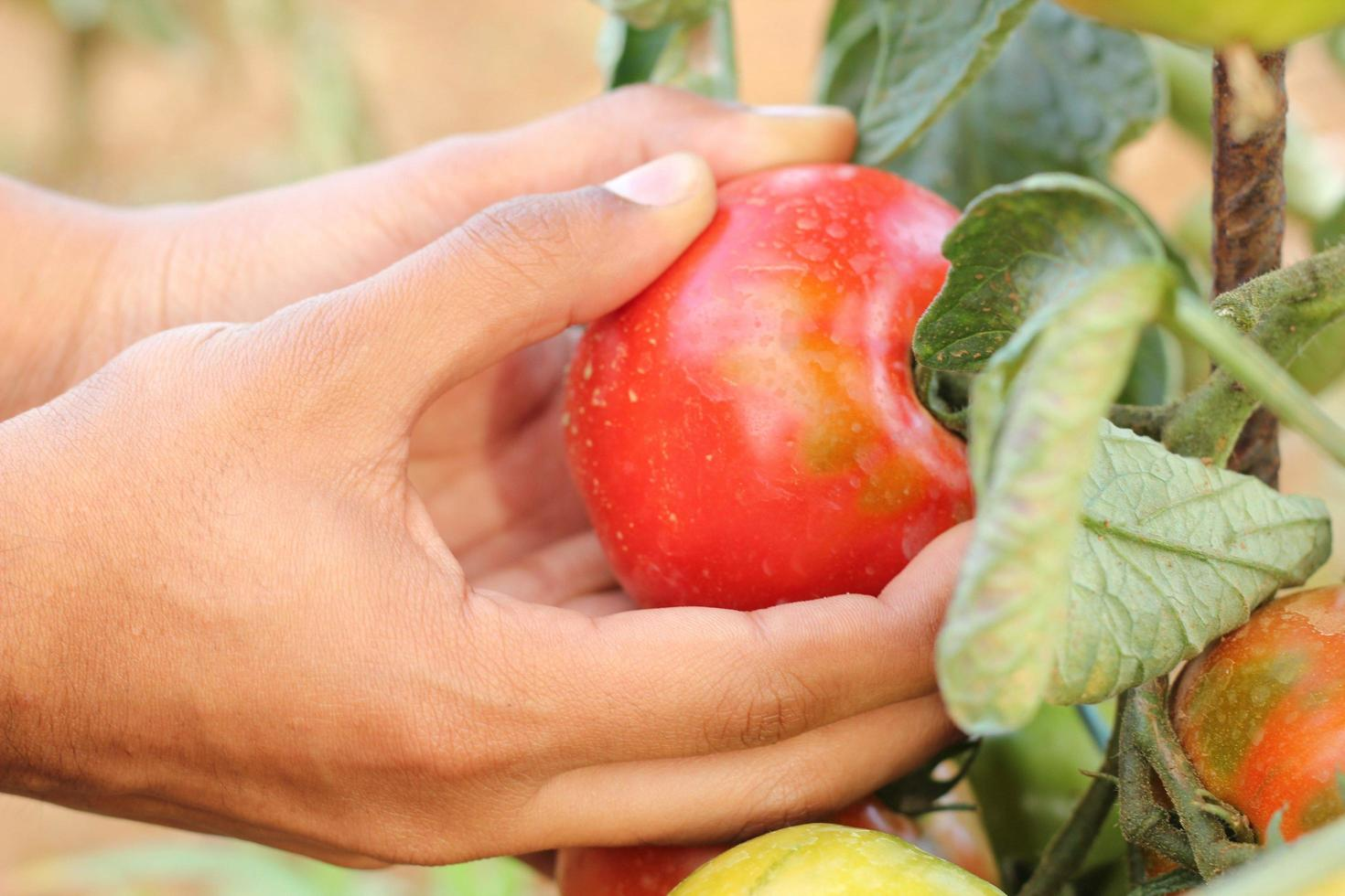 Hands holding tomatoes photo