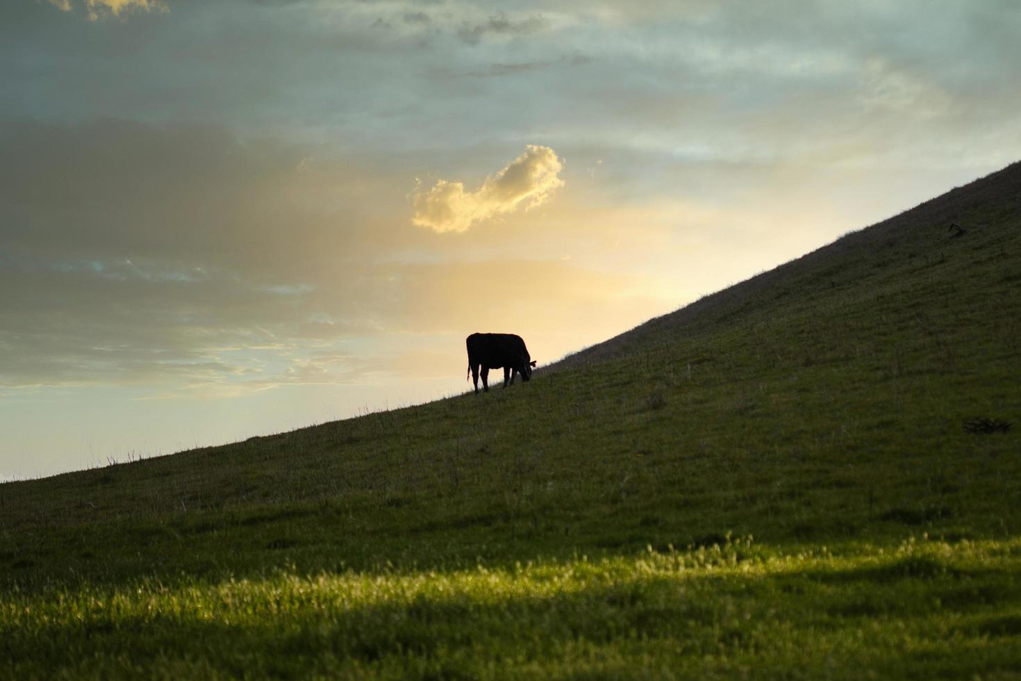 Cow grazing at sunset photo