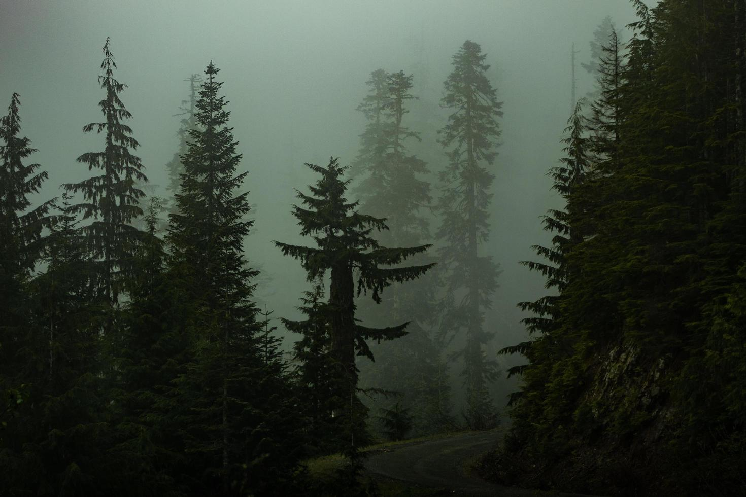 Pine trees in a dark foggy forest photo