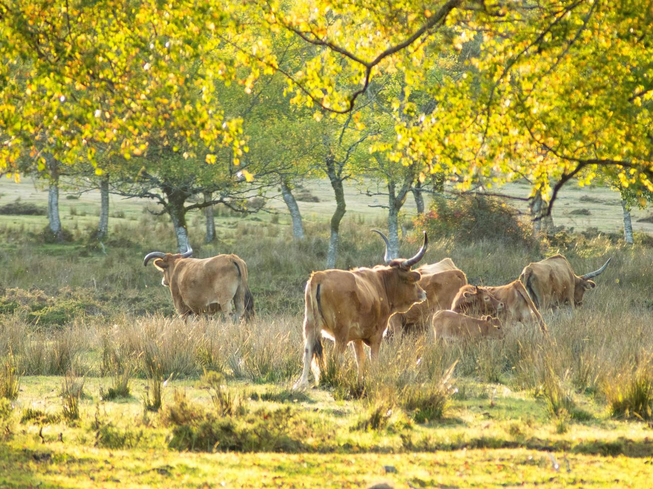 Cows in rural countryside photo