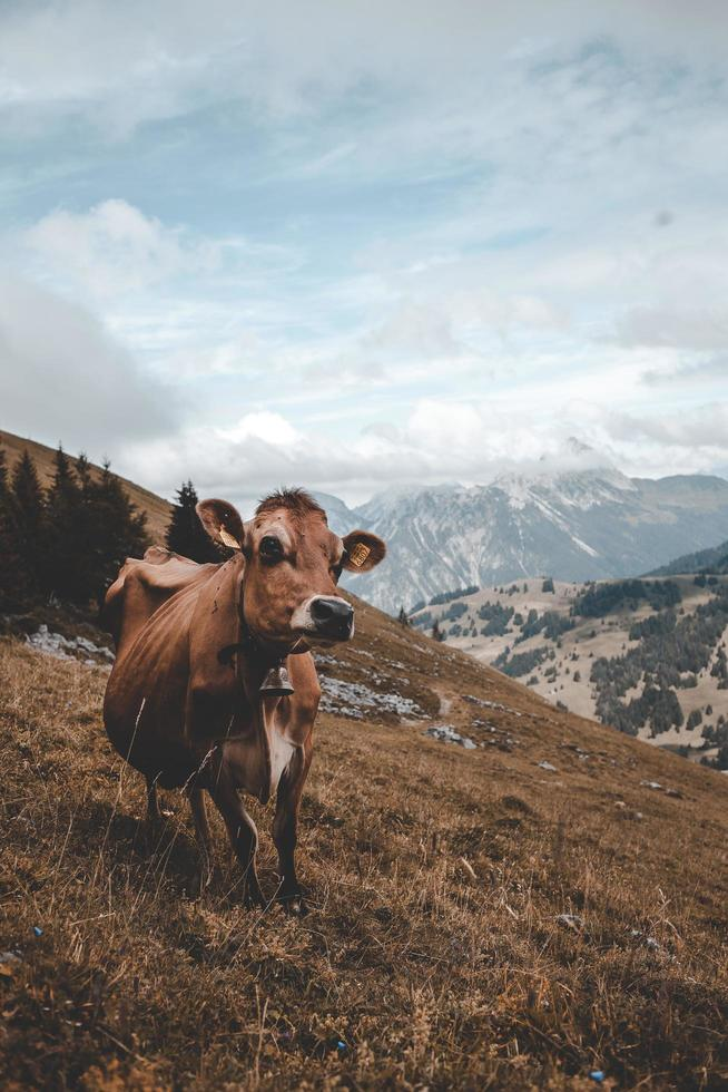 Brown cow standing on top of a hill photo