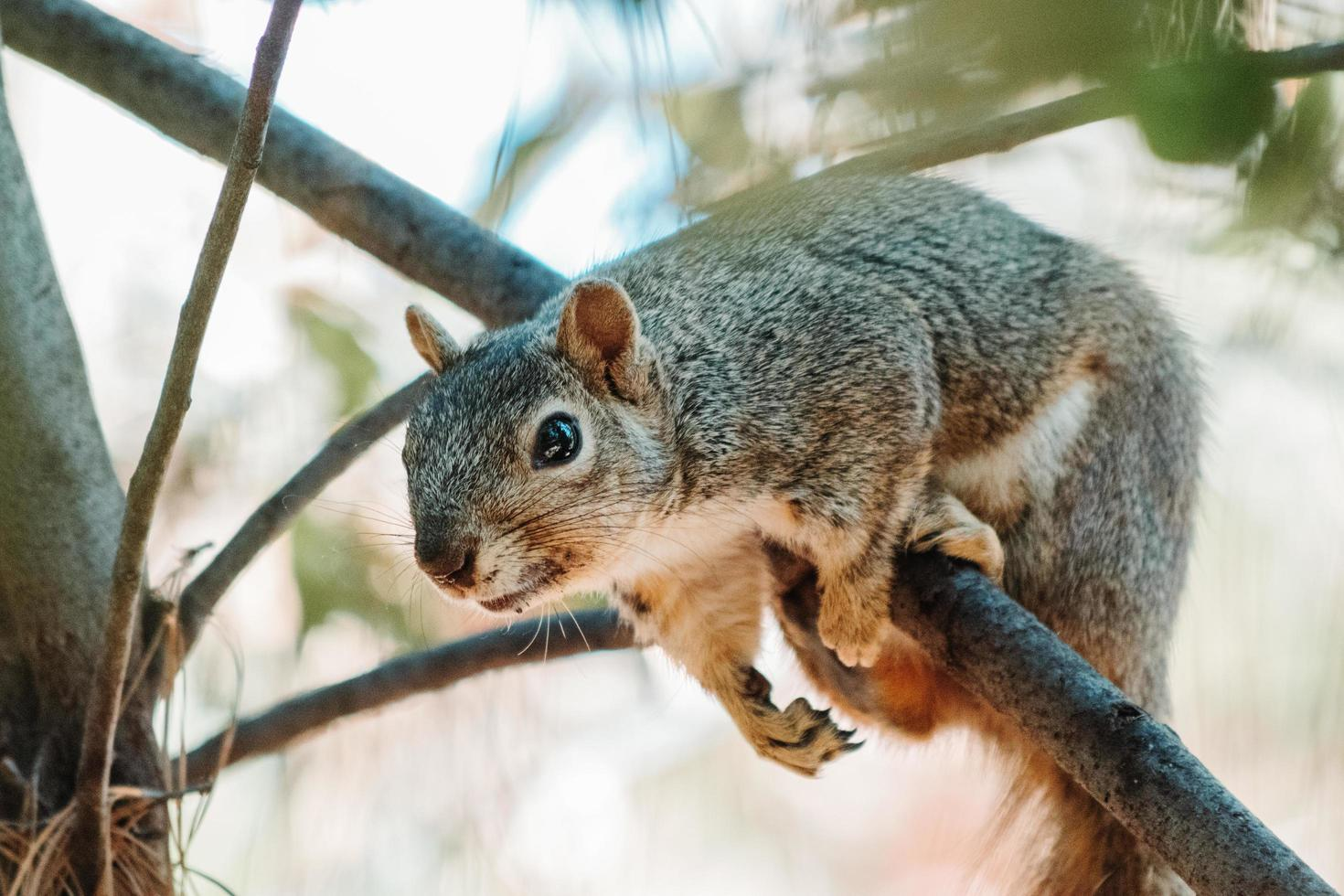 Squirrel hanging on branch photo