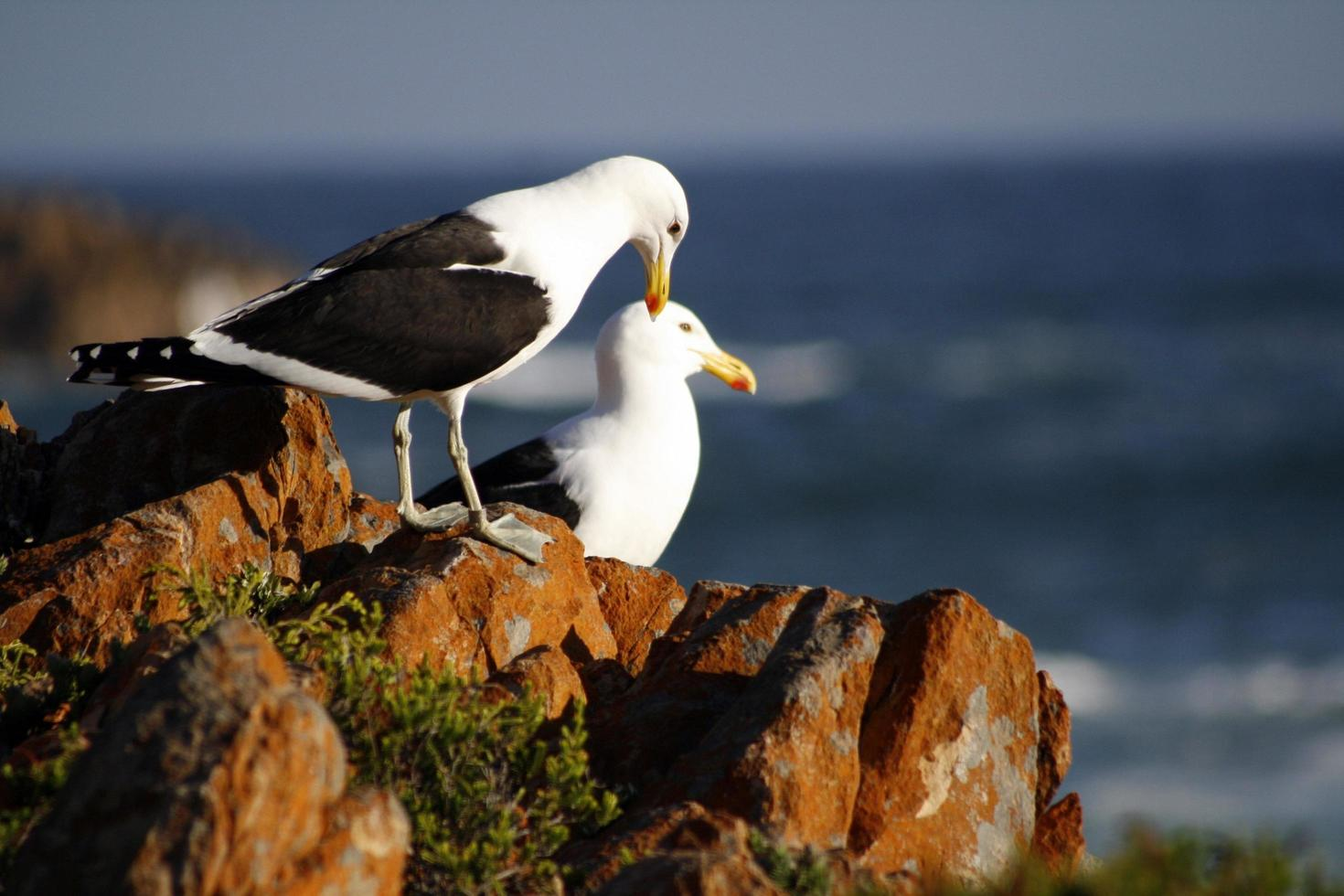 Seagulls on the rocky coast photo