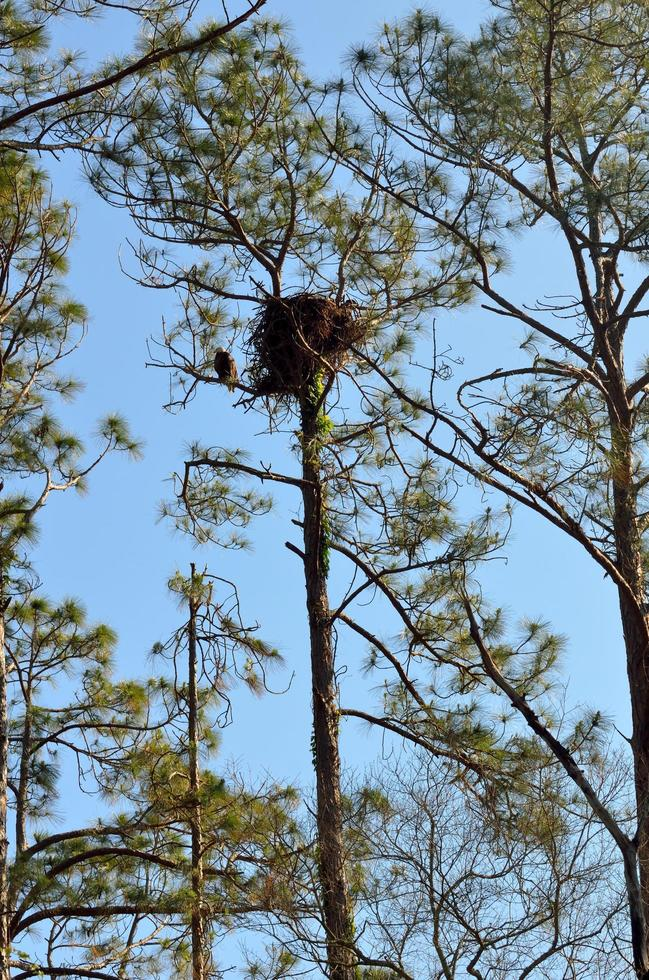 Bald eagle at its nest on the tree photo