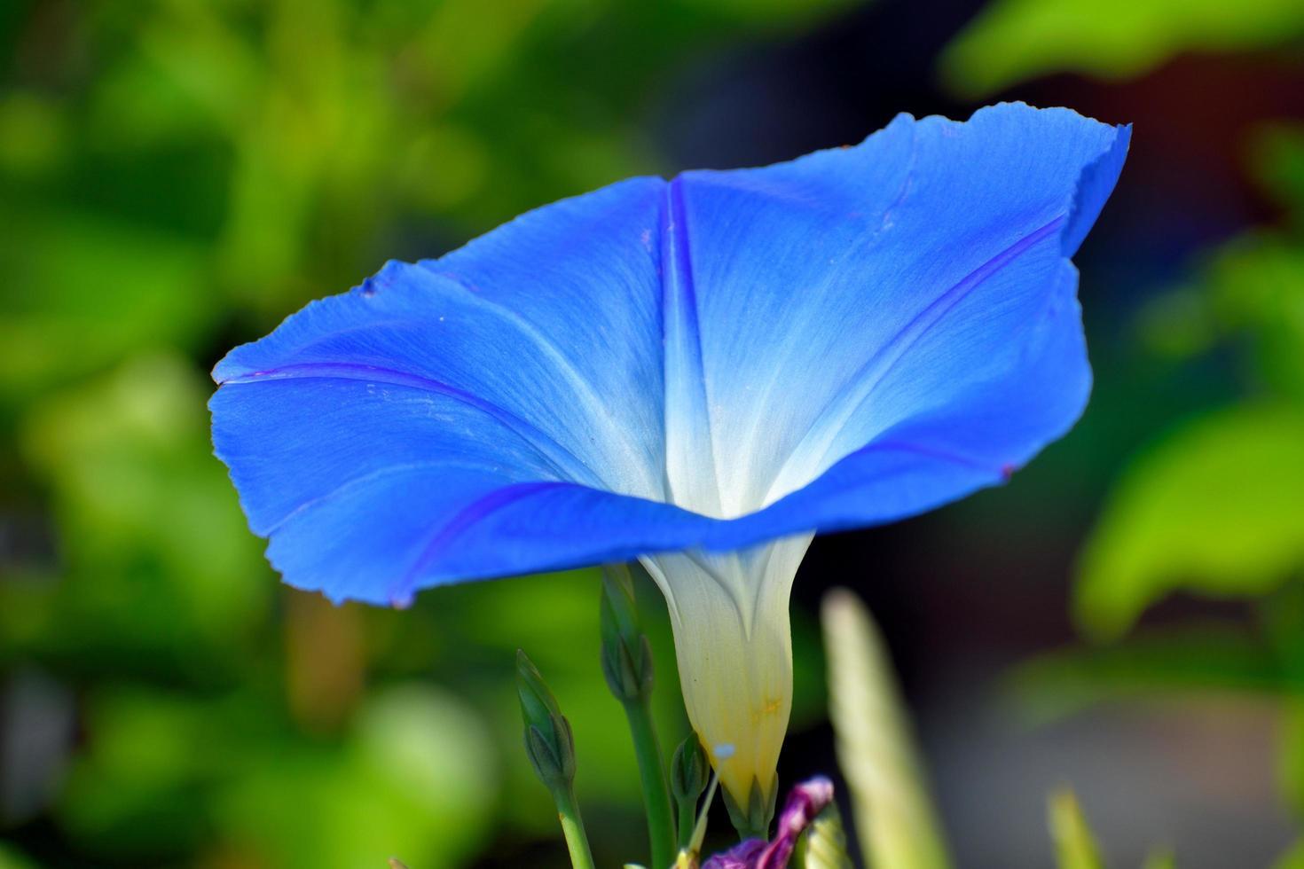 flor azul vibrante foto