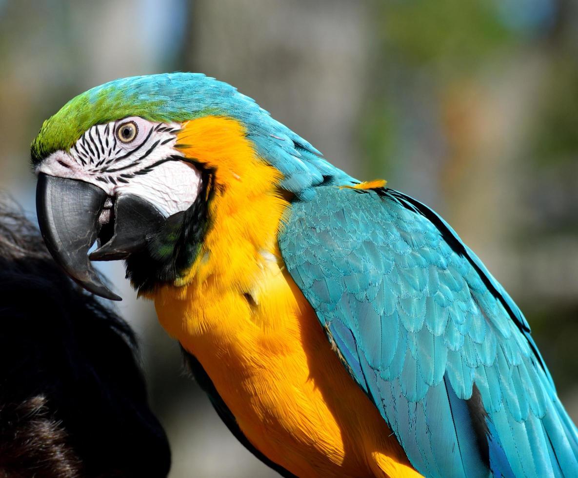 retrato de papagaio de arara foto