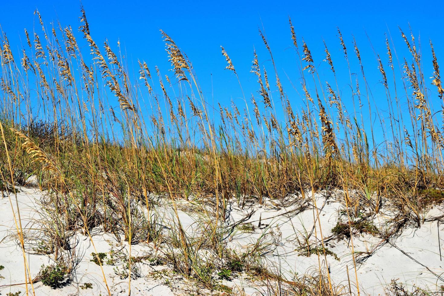 aveia do mar na duna de areia foto