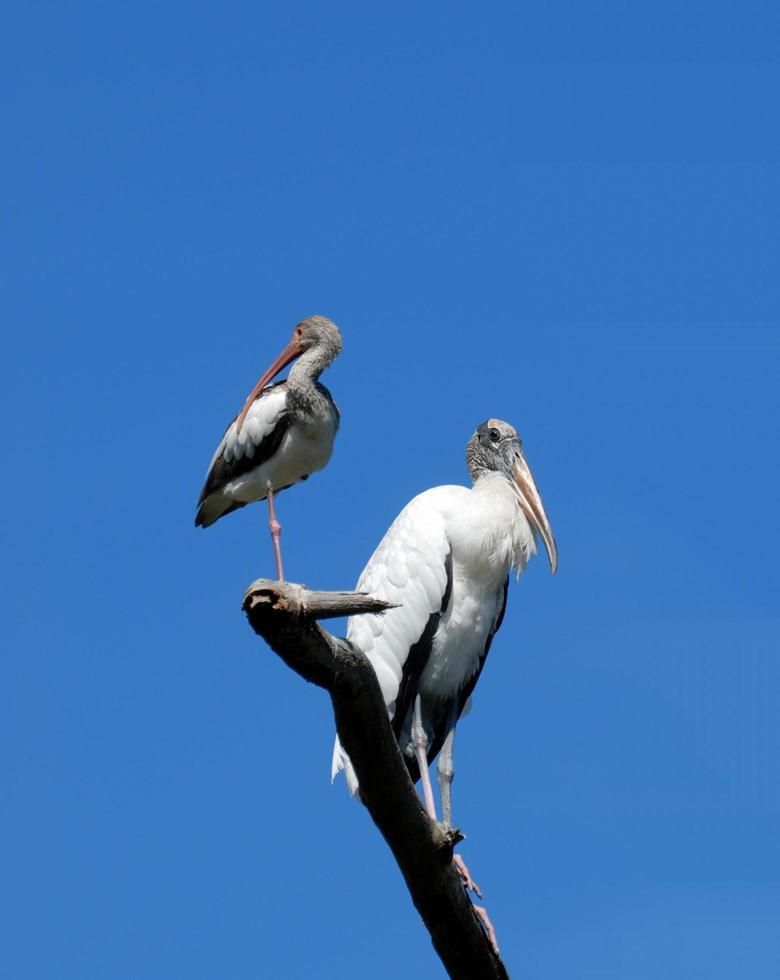 Wood storks on a tree photo
