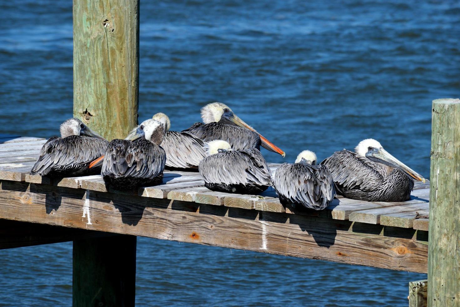 pelicanos em um píer de madeira foto