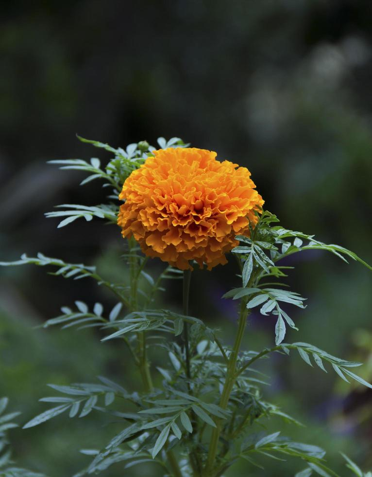 Mexican marigold plant photo