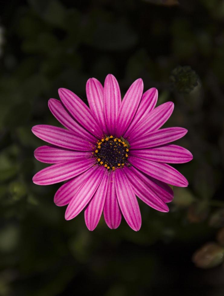African daisy flower photo