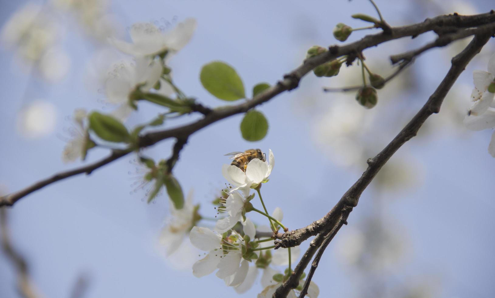 Honey bee in spring photo
