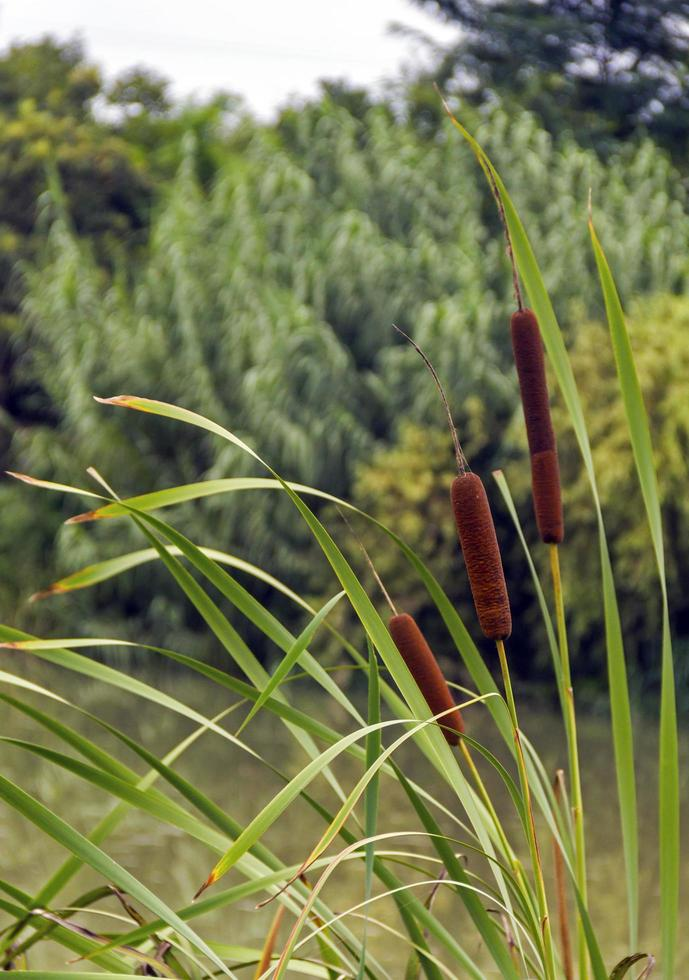 Cattail plant in a swamp photo