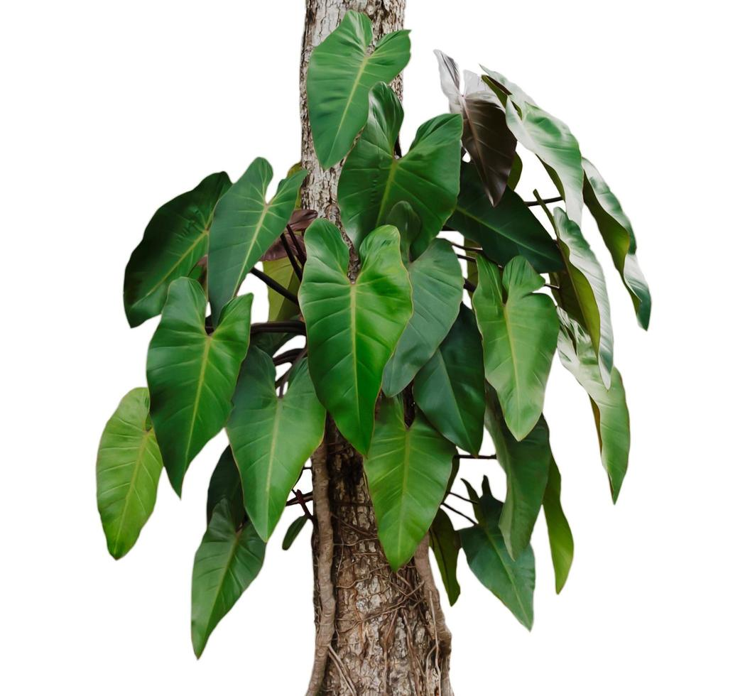 Small monstera leaves on a tree photo