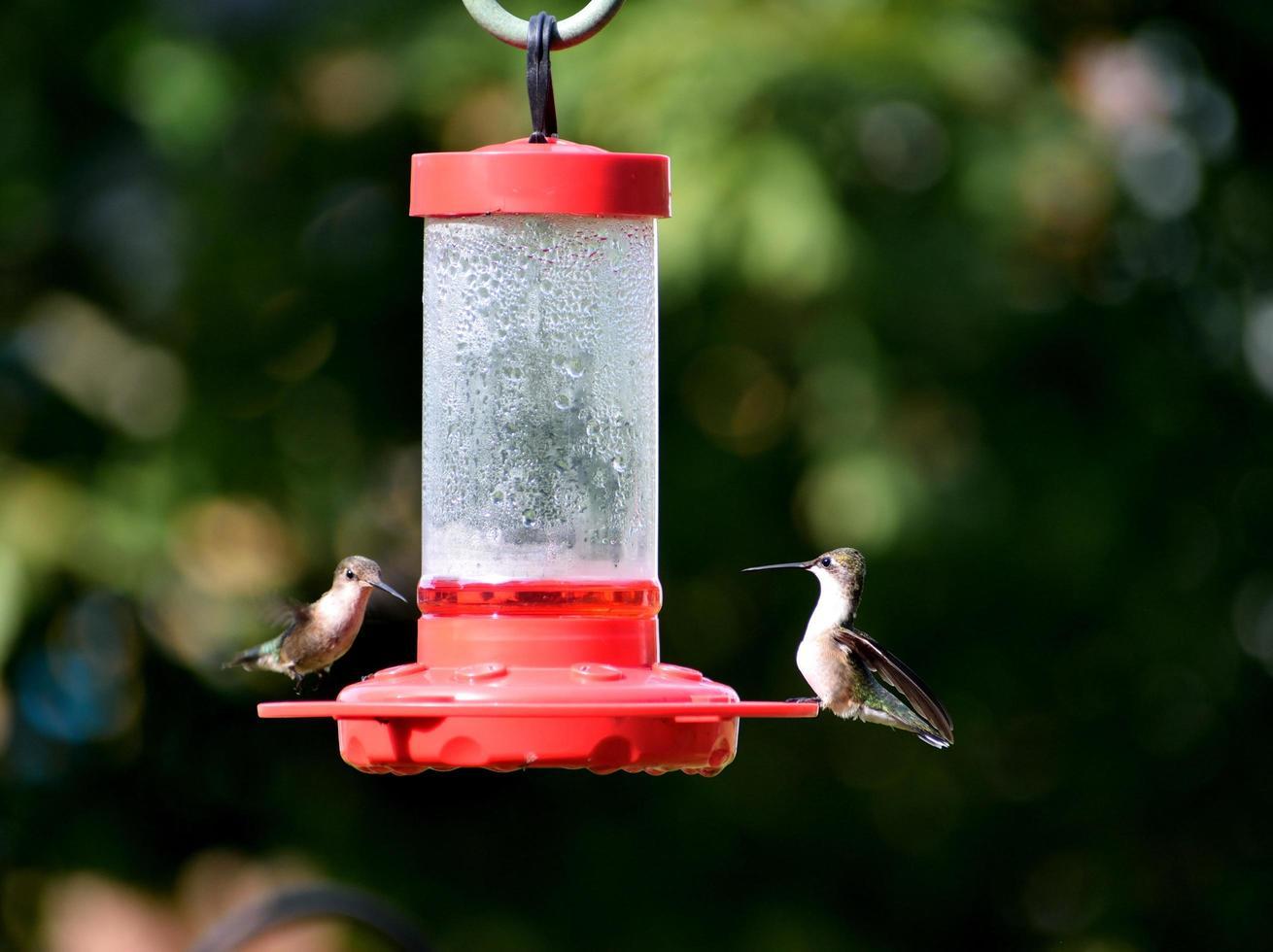 Hummingbirds at the feeder photo