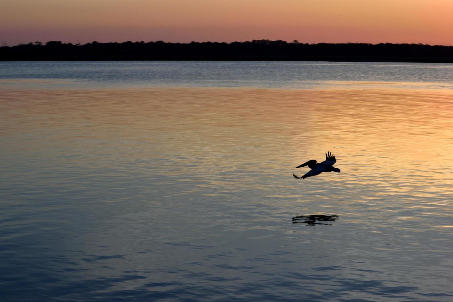 pelicano marrom voador foto