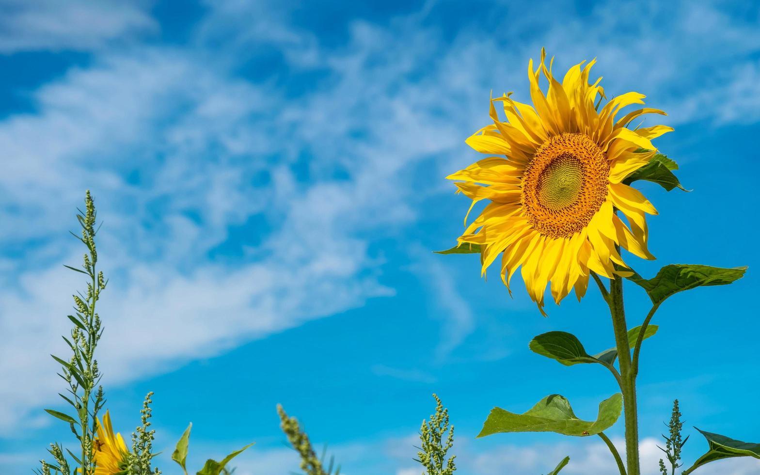 Sunflower in field photo