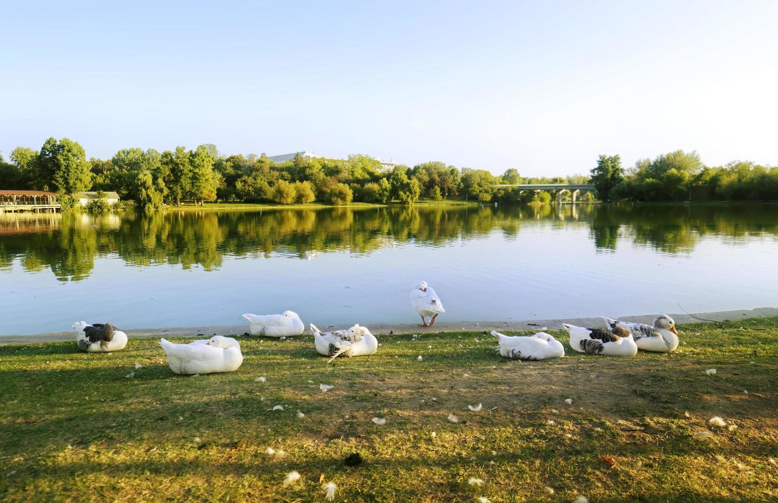Geese relaxing on lakeshore in park photo