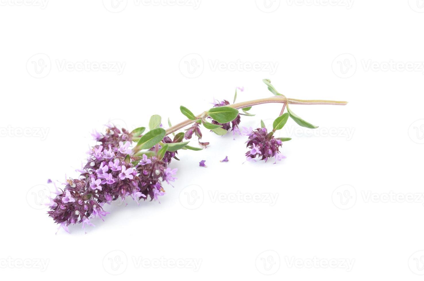 bloemen van thymus vulgaris foto