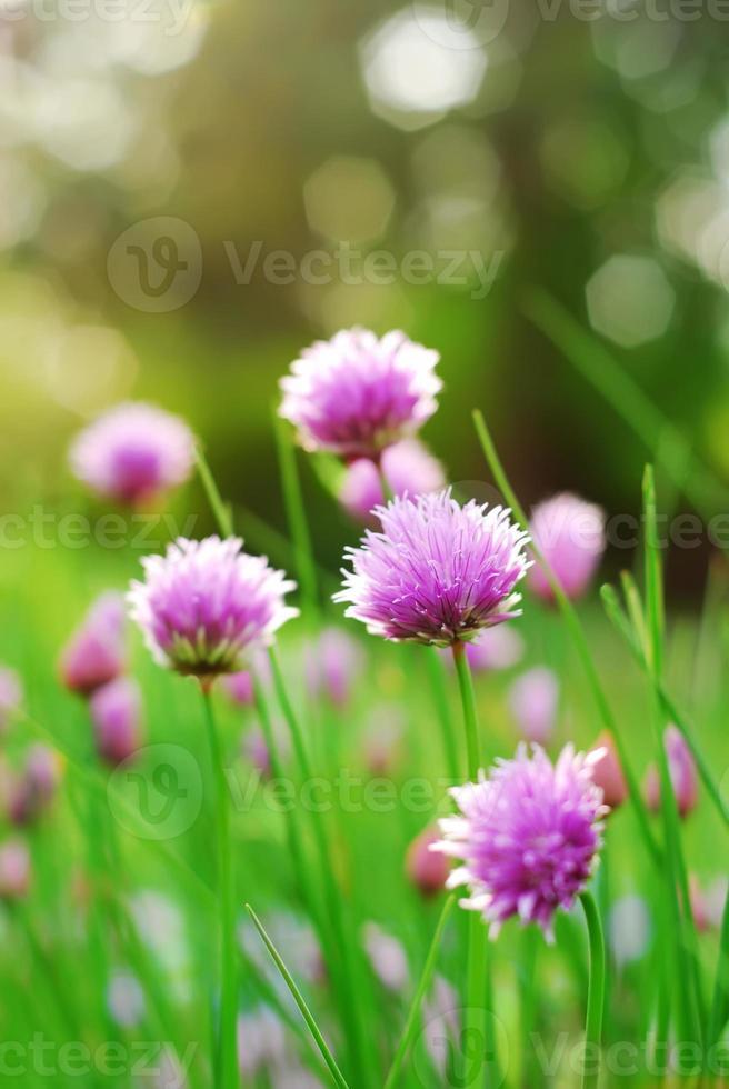 flores de cebollino foto
