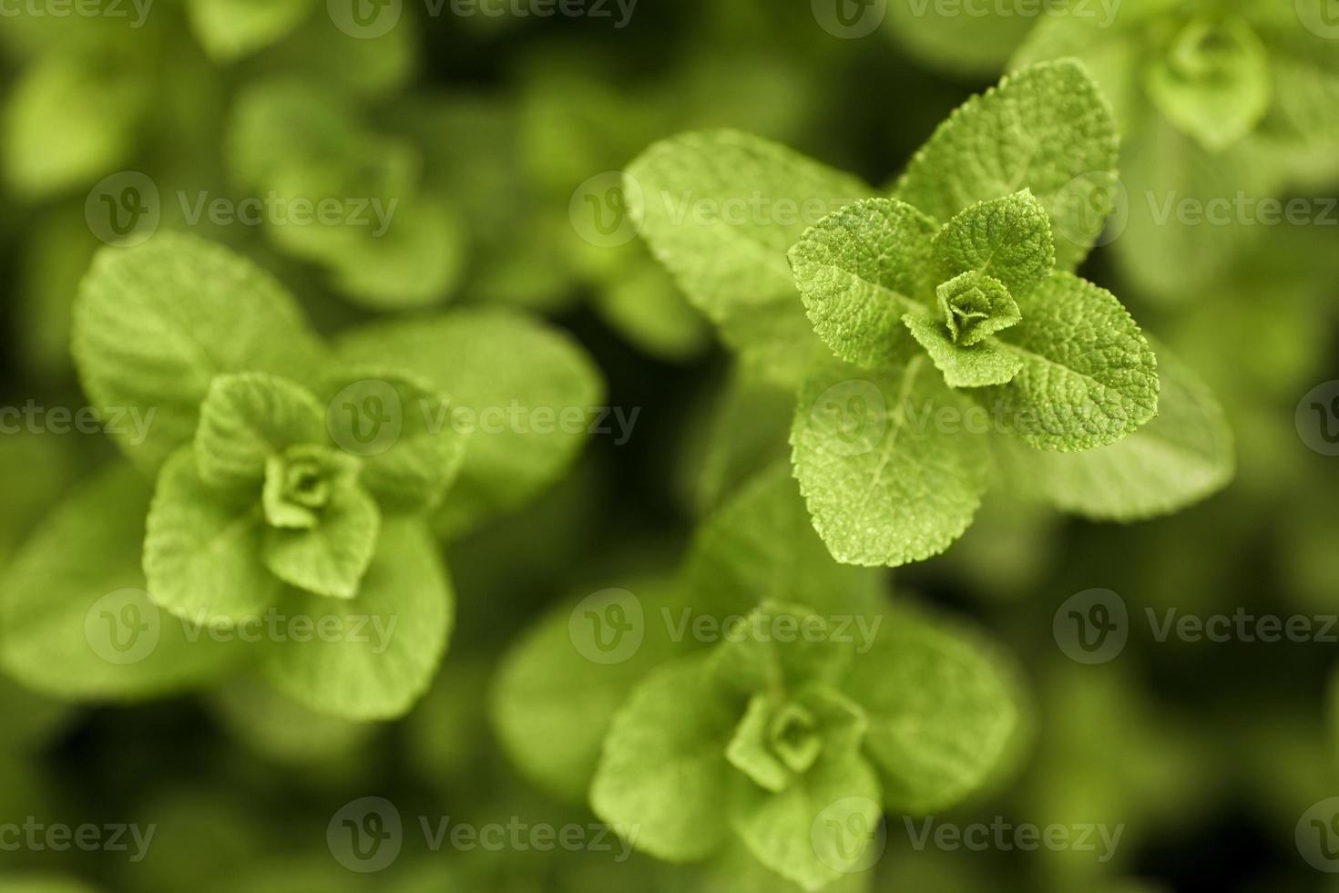 Peppermint plant photo