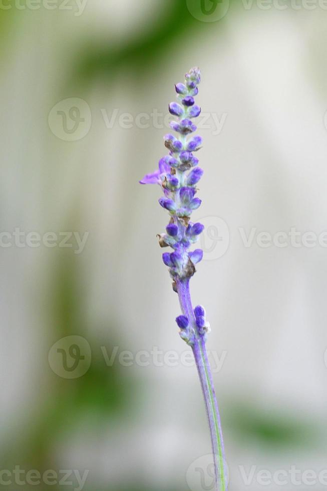 unopen lavender photo