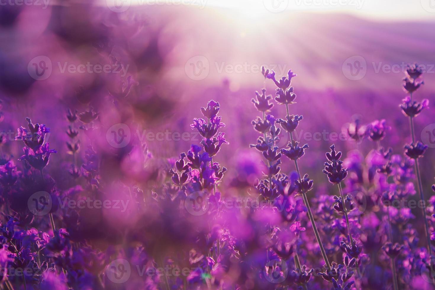 Fondo de verano borroso de flores de lavanda foto