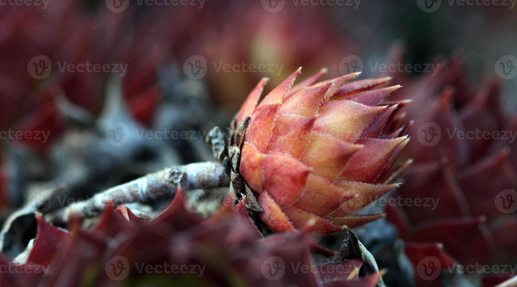 House leek , sempervivum close up photo