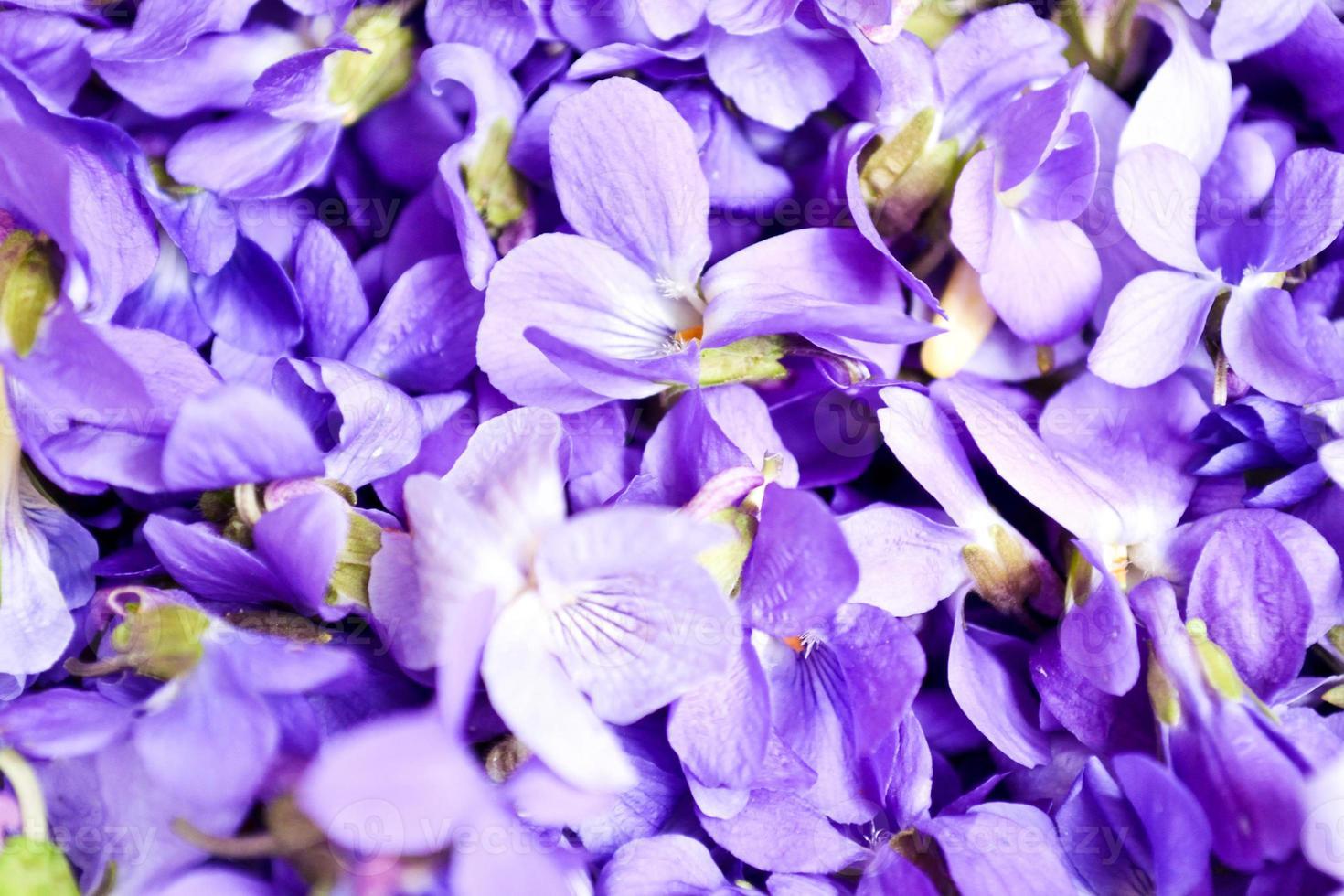 Violets flowers photo
