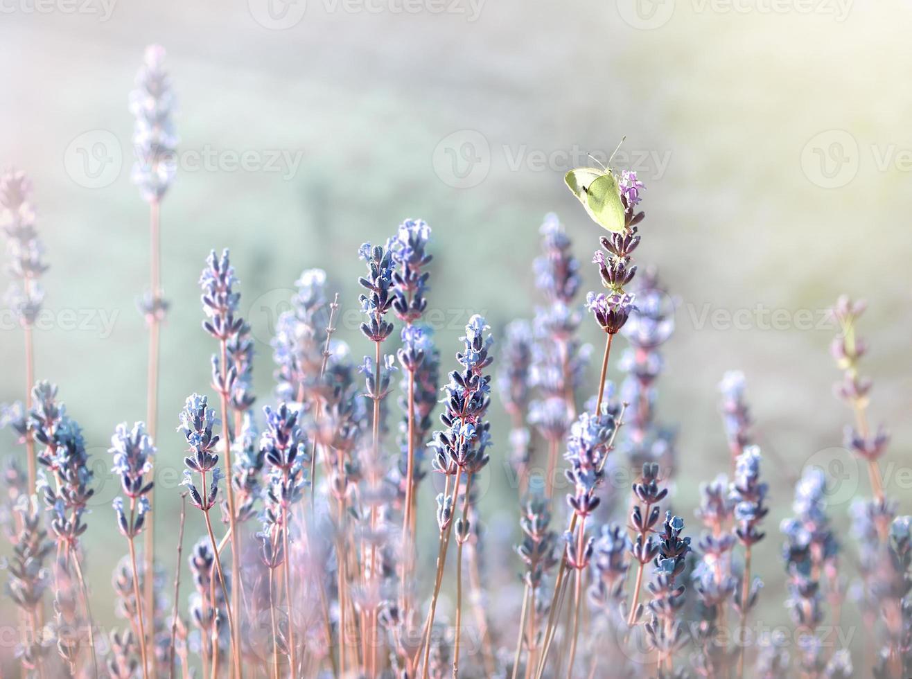 witte vlinder op lavendelbloem foto