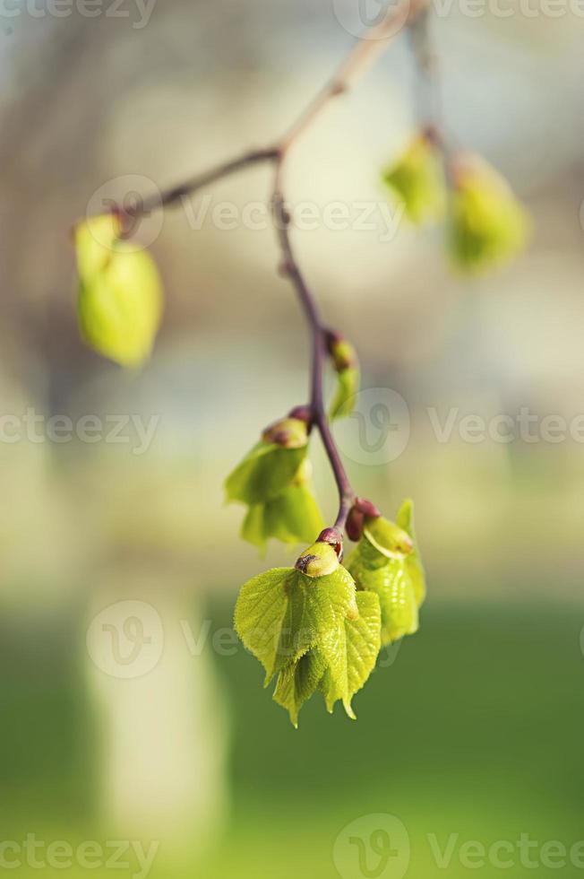 hojas de abedul foto