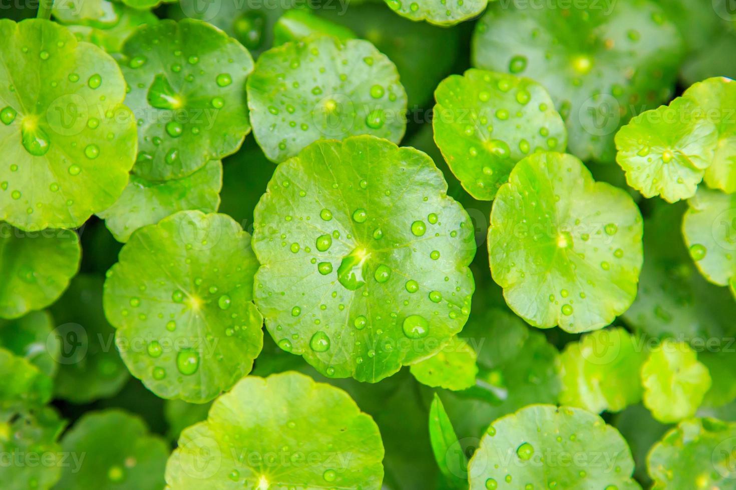 Planta de hierba de centavo verde cerca de fondo natural foto