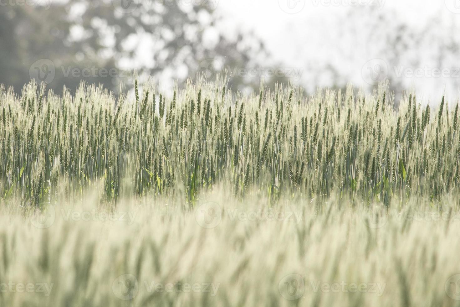campo de cebada en filtro de color vintage. foto