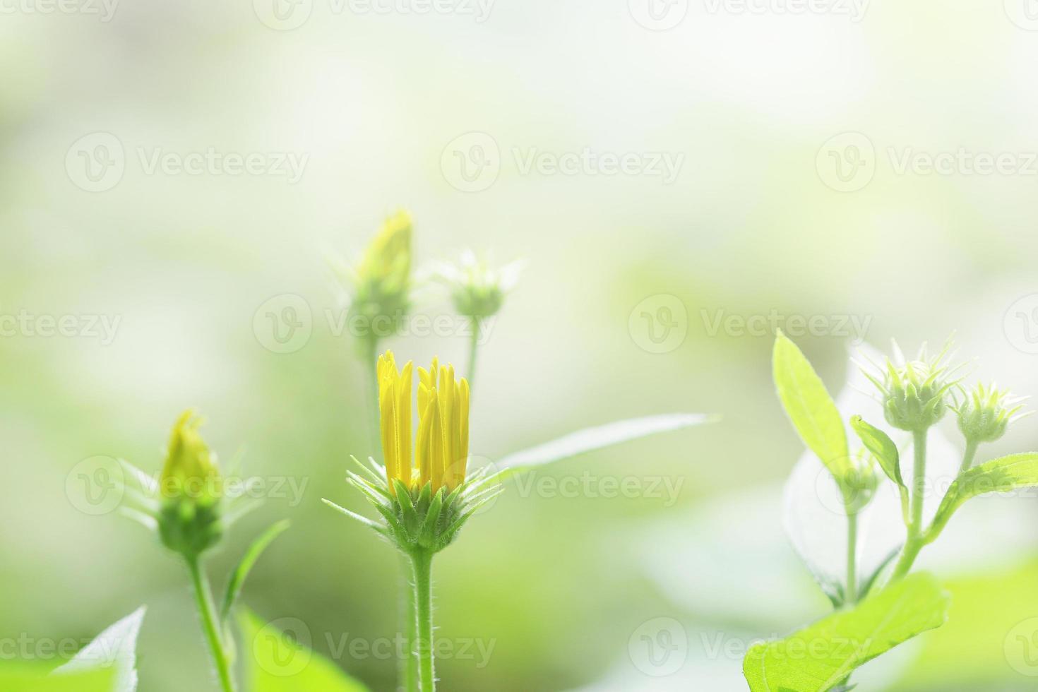flor de alcachofa de jerusalén foto