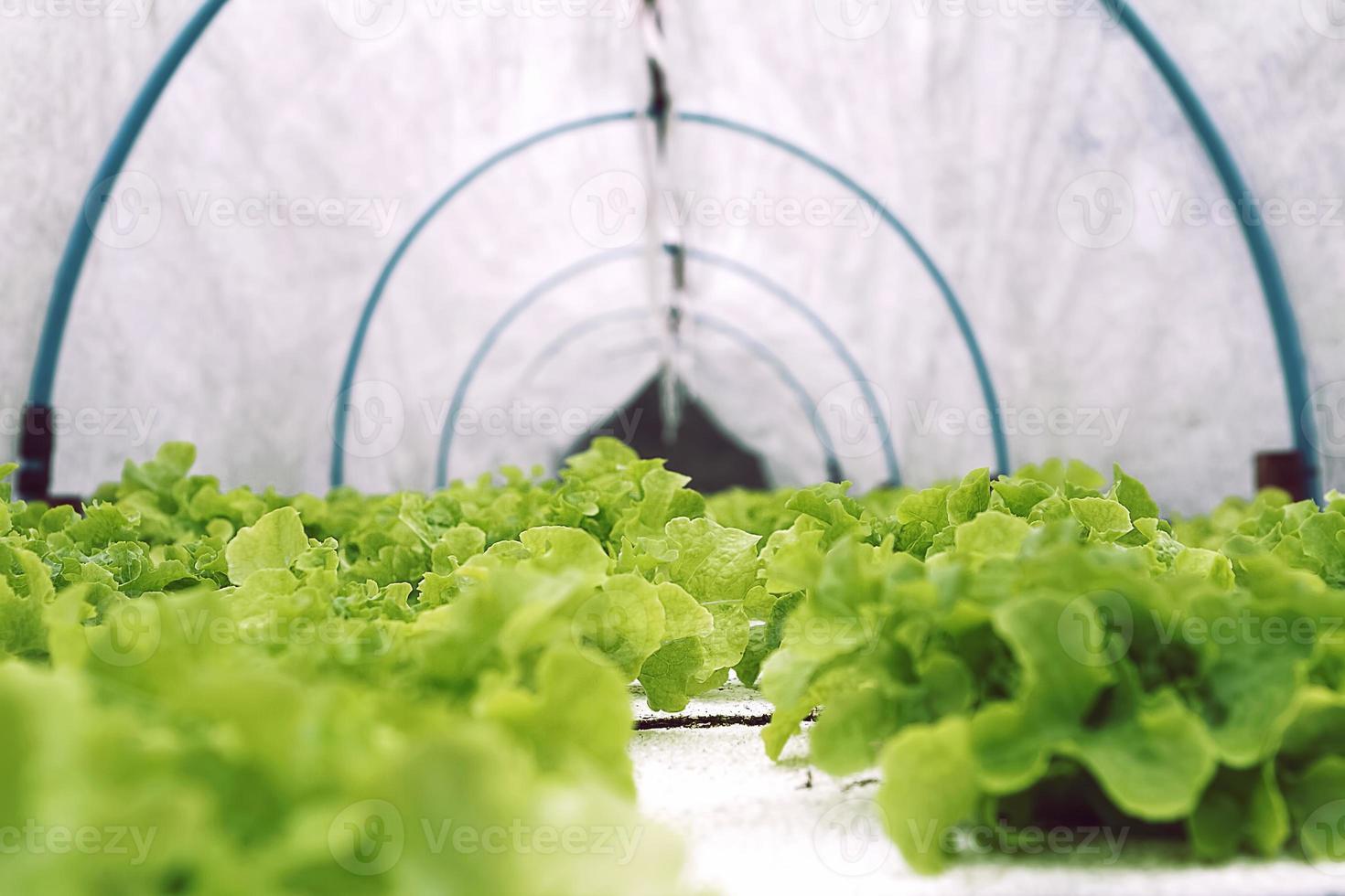 Hydroponics vegetable photo