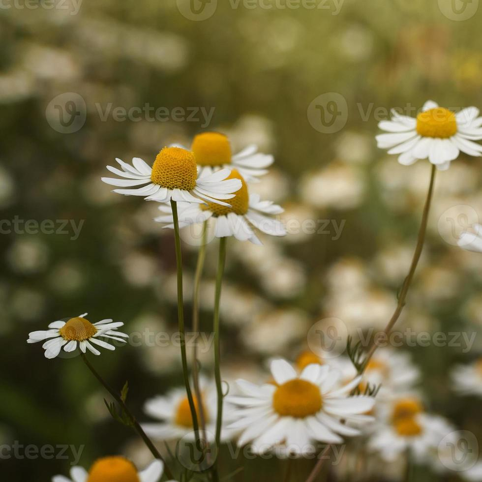 flores de manzanilla foto