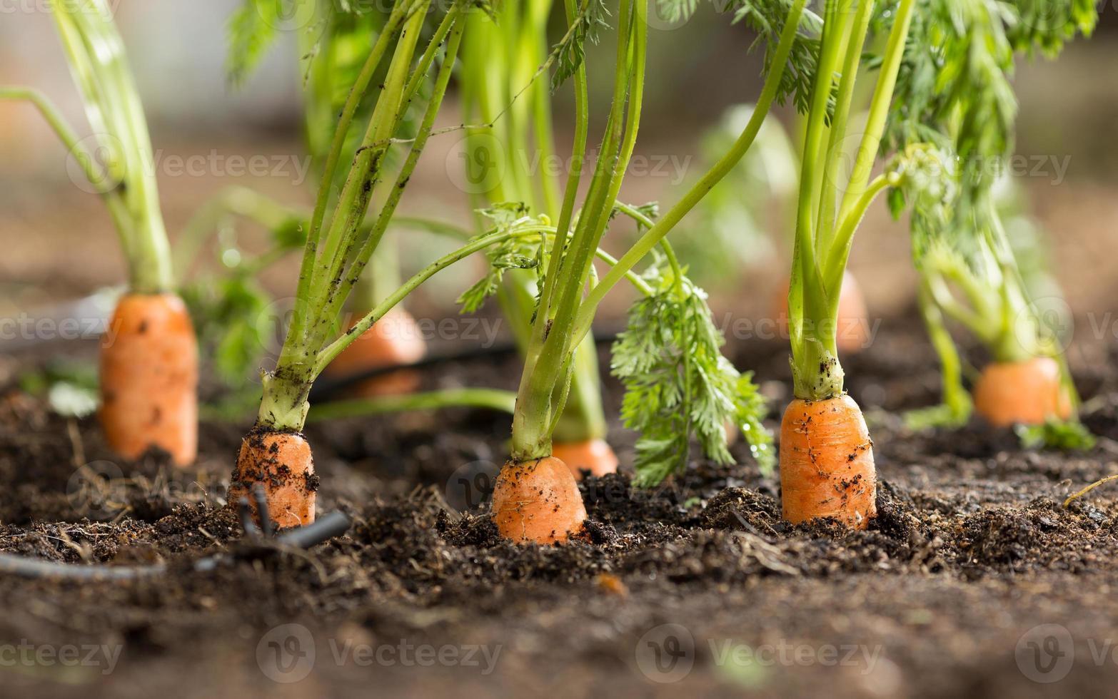 zanahorias foto