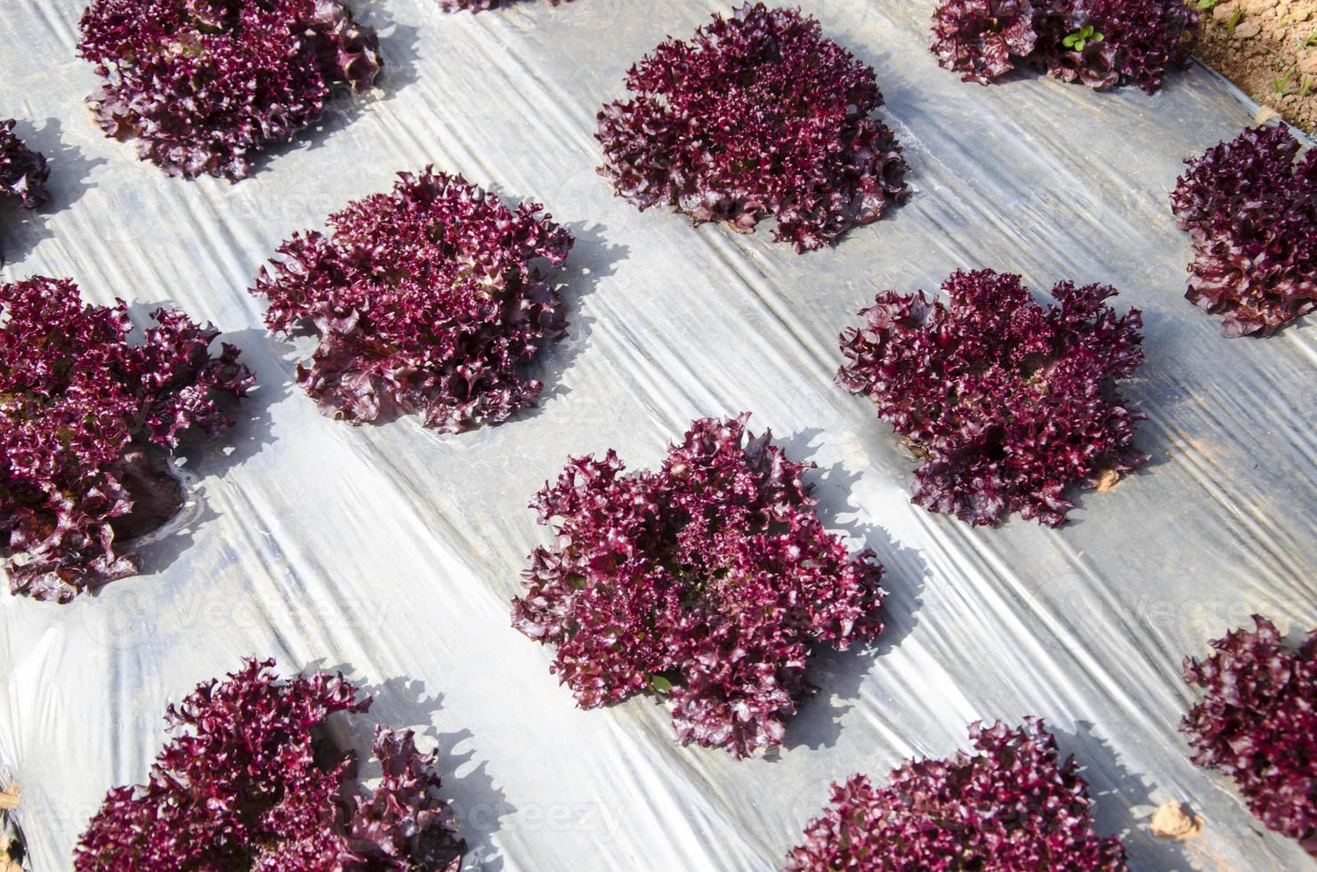 vegetales orgánicos foto