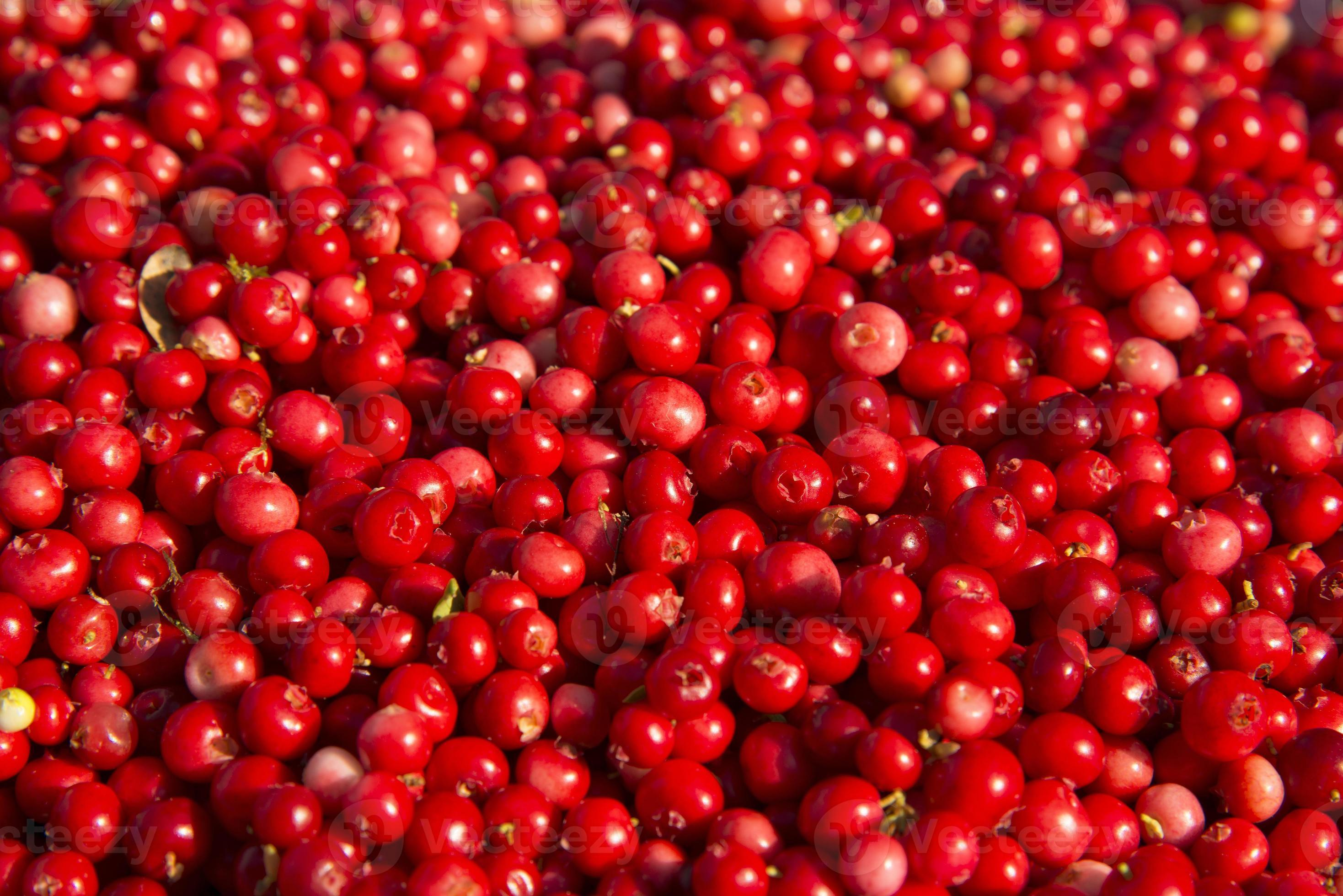 Rich harvest of wild cowberries. 32 Stock Photo at Vecteezy