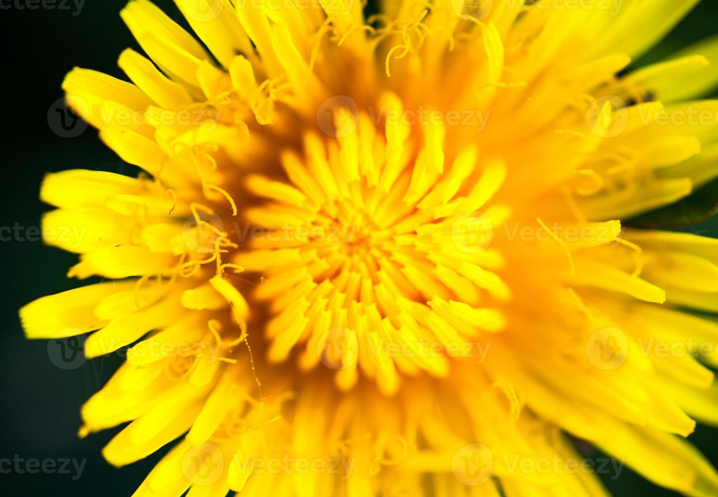 Closeup of the blooming yellow dandelion flower photo