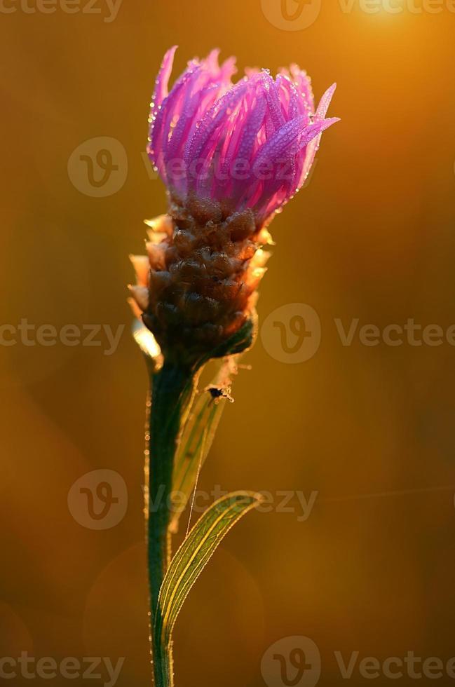 Closeup photo of a purple wildflower on the field