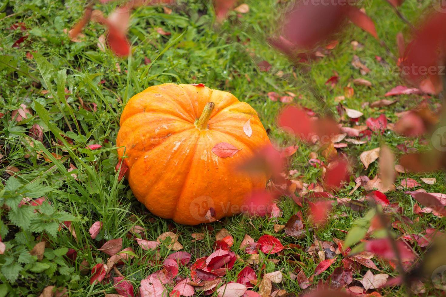 Big pumpkin in the garden photo