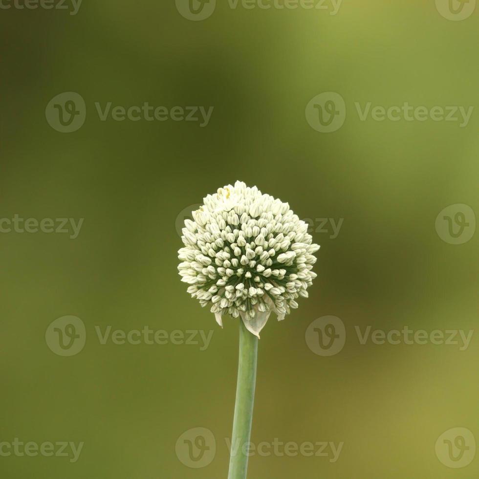 onion flower on green background photo