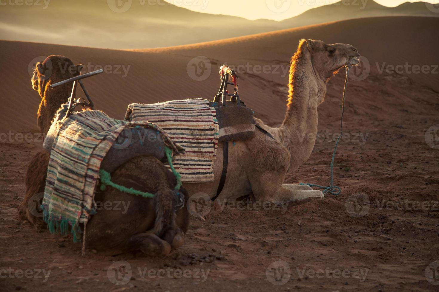 Camels in the sunrise photo