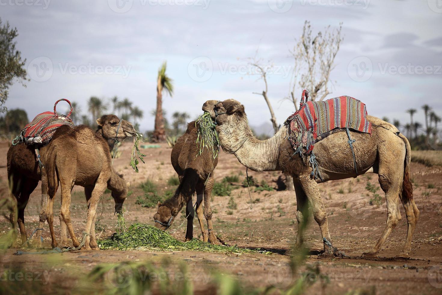 Dromedaries in the West Sahara photo