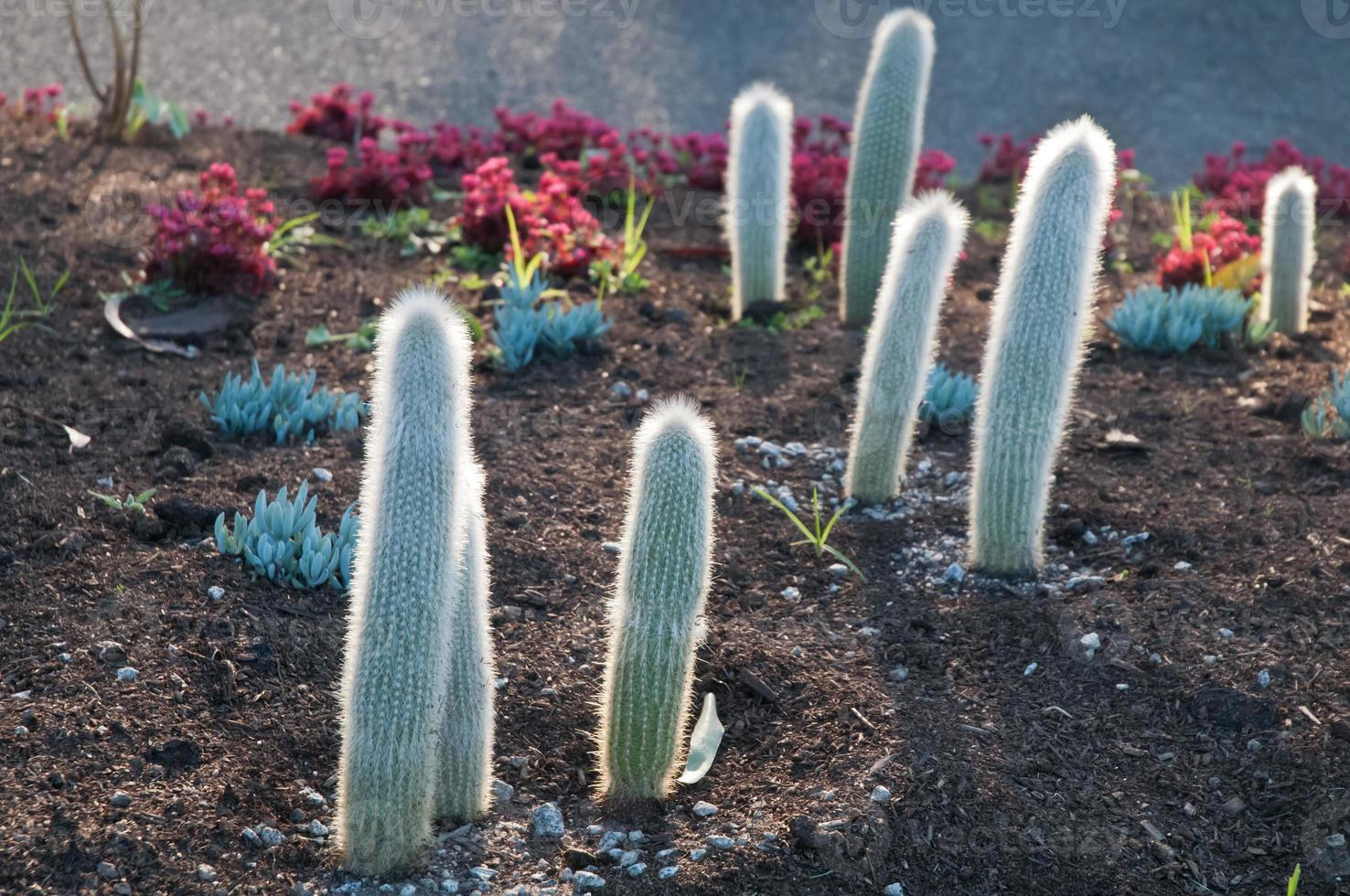 Spiky little cactus trees in the evening photo