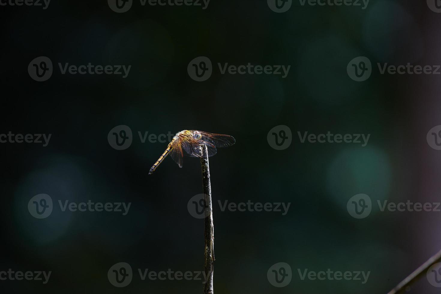 libélula en el bosque foto