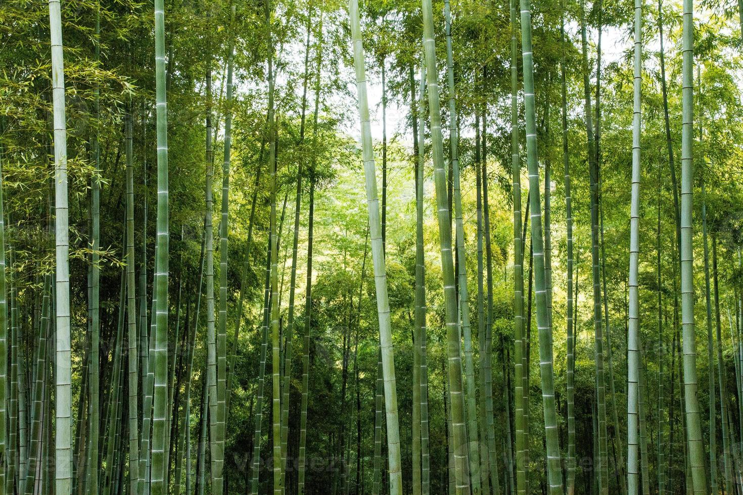 Wild Bamboo Forest photo